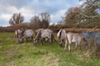 Grazing Konik horses in a Dutch nature reserve