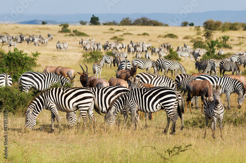 Foto op Plexiglas Zebra Great Migration in Masai Mara National Park, Kenya