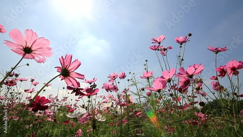 Cosmos field,sun and blue sky background.