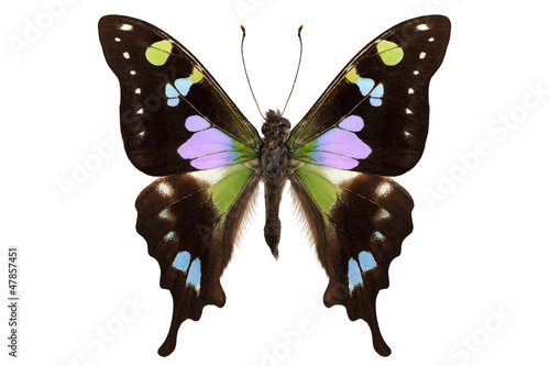 "Butterfly species Graphium weiskei ""Purple Spotted Swallowtail"""