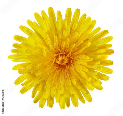 Fotobehang Paardebloem Dandelion Flower