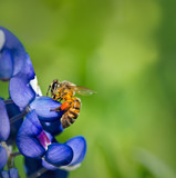 Bee collecting pollen from Texas bluebonnet flowers