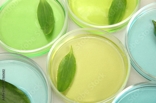 Genetically modified leaves tested in petri dishes,