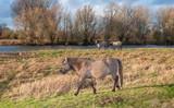 Konik horses in a Dutch nature reserve
