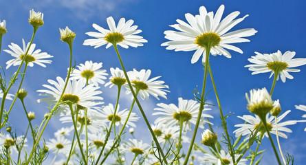 Meadow, flower against blue summer sky.