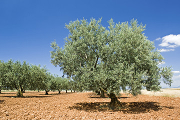 Olive tree in Provence. France