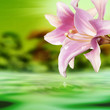 Exotic tropical flower lily on a water background.Summer nature