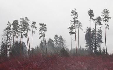 Rainy pine forest