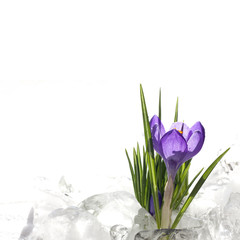 Easter beautiful crocus in snow and ice closeup