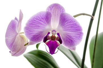 Orchid flower closeup