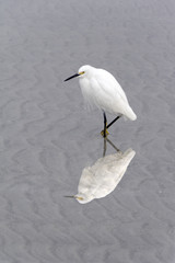 Snowy Egret Wading and Reflecting