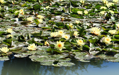 yellow water lily on the lake