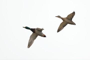 coppia di germani in volo