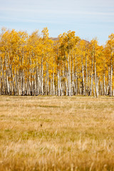 Grass Field with Aspen Trees