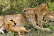 lioness & young lions