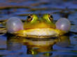 Leinwanddruck Bild - Croaking Bubble Frog