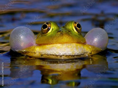 Leinwanddruck Bild Croaking Bubble Frog