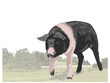 Berkshire pig illustration