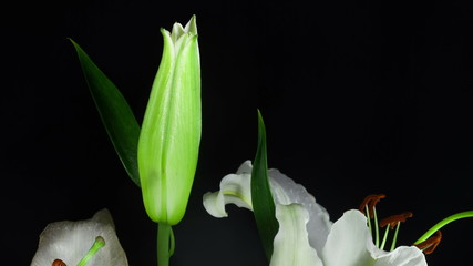 White lily. Timelapse.