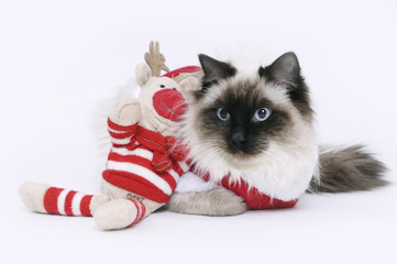 Ragdoll cat dressed up