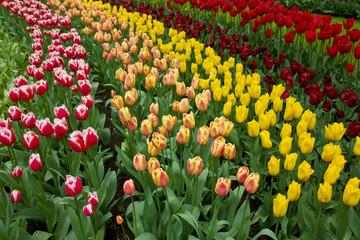 holland tulips fields