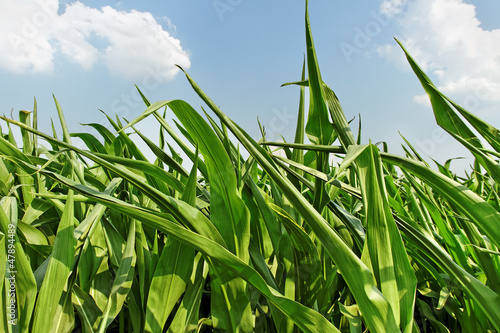 Field of green corns.