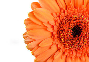 Orange Marigold Gerbera Flower Macro