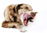 Large mutt dog licking its lips poster