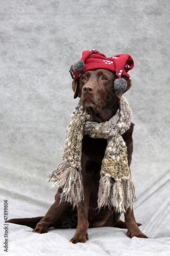 Fotobehang Dragen Labrador mit Bommelmütze und Schal