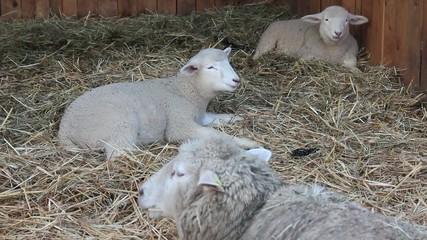 Schafe im Stroh