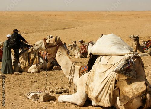 Fototapeten,wildnis,dromedar,kamel,kamel