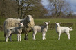 lambs grazing in rural field