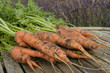 Fresh ripe carrots bunch on garden table