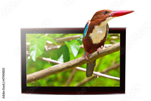 3D TV with white-throated Kingfisher bird on the display