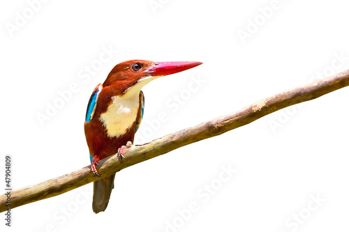 White-throated Kingfisher bird isolated on white