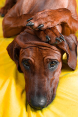 Cute rhodesian ridgeback puppy with paws on her head