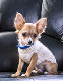 cute chihuahua puppy wearing white knitted sweater