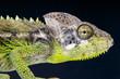 Warty Chameleon / Furcifer verrucosus