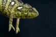 Malagasy Giant Chameleon / Furcifer oustaleti