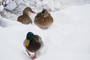 鴨の親子の行進