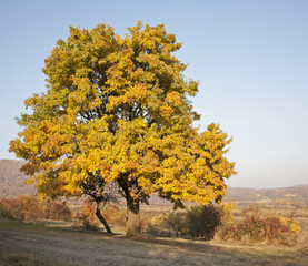 old wild pear tree in autumn - middle Slovakia