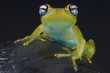 Blue-eyed tree frog / Boophis rappiodes