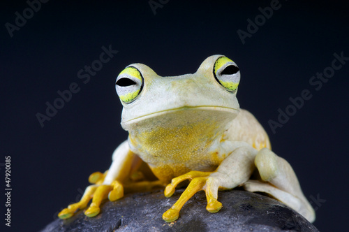 Emerald-eyed tree frog / Hypsiboas crepitans