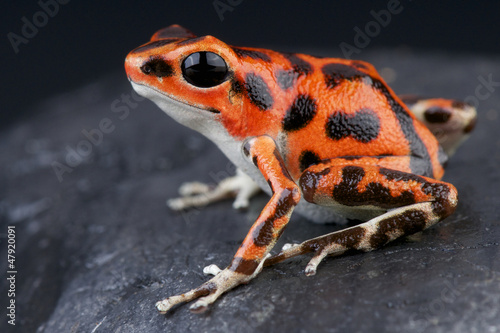 Papiers peints Grenouille Spotted dart frog / Oophaga pumilio