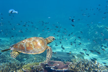 Żółw morski Portret z bliska, patrząc na ciebie