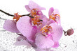pink beautiful orchid with drops