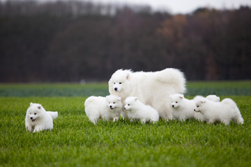 Samoyed dog  family