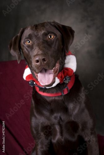 Chocolate Lab with Jingle Collar
