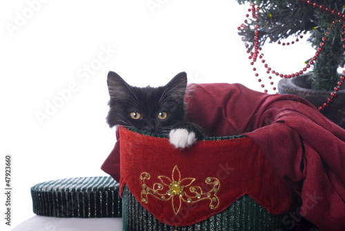Black and White Christmas Kitty in a Velvet Box