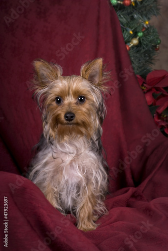 Yorkshire Terrier Christmas Portrait